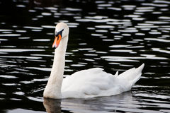 Swan on water. White swan on water with reflections Stock Image