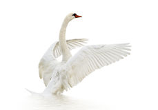 Swan on the water. royalty free stock photography