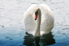 Swan on water. Swan swims on the water Stock Photography