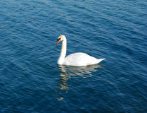 Swan on water Stock Images