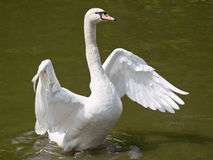 Swan and water Royalty Free Stock Photo