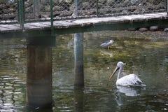 Swan. In water Stock Photos