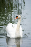Swan on the water. Beautiful swan on the water Royalty Free Stock Photo