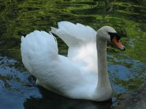 Swan on the water royalty free stock photos