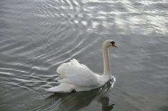 Swan in water. Swan bird Stock Image