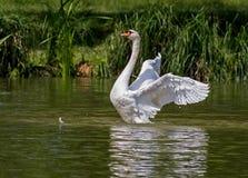 Swan, Water Bird, Animal, Nature Stock Photography