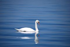 Swan, Water Bird, Bird, Ducks Geese And Swans royalty free stock photos