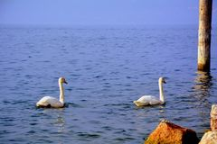 Swan, Water Bird, Bird, Water Stock Image