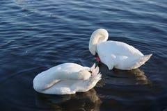Swan, Water Bird, Bird, Water royalty free stock photos