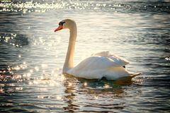 Swan, Water, Bird, Lake, White Royalty Free Stock Photos