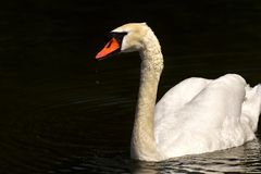 Swan, Water Bird, Relaxed, Animal Royalty Free Stock Photo