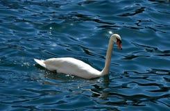 Swan, Water, Bird, Water Bird stock photography