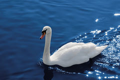 Swan on water, clipping path Royalty Free Stock Images