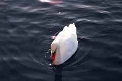 Swan on the water. Swan on water in close up royalty free stock image