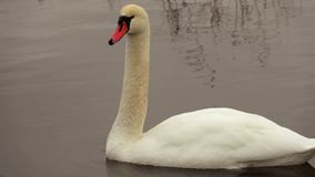 Swan in water close up. In winter day stock footage