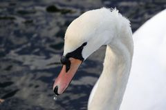 Swan with water drips. Close up of a swan with water droplets on it`s neck and a bead of water dropping from it`s beak. Photo taken at the Spinnies Aberogwen stock photos