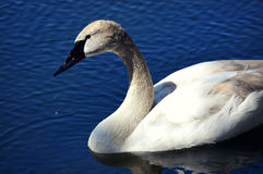 Swan. A swan with water droplets dripping from beak royalty free stock photography