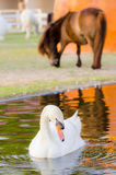 Swan in  water. Stock Photography