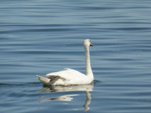 Swan on the water Stock Photography