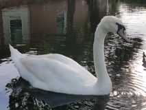 Swan in water by home Stock Photography