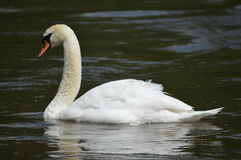A swan on the water Royalty Free Stock Photo