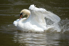 A swan on the water Stock Photos