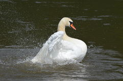 A swan on the water Stock Images
