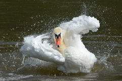 A swan on the water Stock Photo