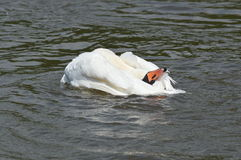 A swan on the water Stock Photography
