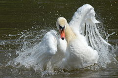 A swan on the water Stock Image