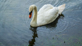 Swan in the water Stock Photography