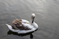 Swan in water Stock Images