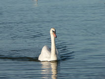 Swan in the water. A natural shot of a swan in the lagoon Royalty Free Stock Photo