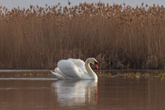 Swan in the water near the reed Stock Photo