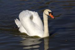 Swan on the water Stock Photos