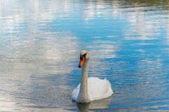 Swan on the water. Photo was taken during sunny day at the beach near Zadar Royalty Free Stock Photos