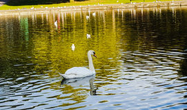 Swan. Water swan in pond Royalty Free Stock Image