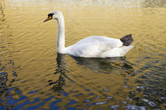 Swan in the water and reflection Royalty Free Stock Image