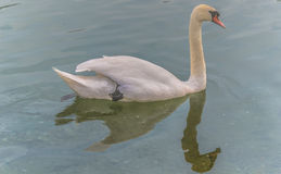 Swan in water with reflection Stock Photos