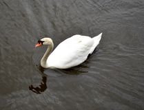 Swan and water. Reflections Stock Photos