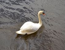Swan and water. Reflections from a lake Stock Image
