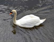 Swan and water. Reflections from a lake Stock Photos