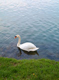 Swan and water ripple Stock Image