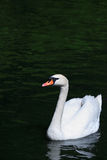 Swan On Water Royalty Free Stock Image