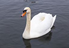 Swan in the water in search of food Royalty Free Stock Photo