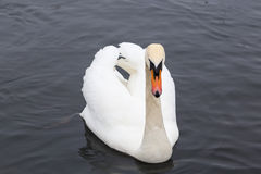 Swan in the water in search of food.  Stock Photos