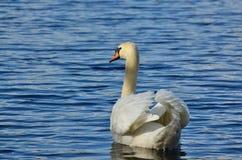 Swan on the water, South Bohemia. Czech Republic Stock Photos