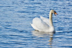 Swan on the water, South Bohemia. Czech Republic Stock Image