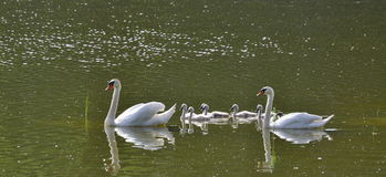 Swan on the water, South Bohemia Royalty Free Stock Image