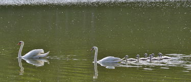 Swan on the water, South Bohemia. Czech Republic Royalty Free Stock Image